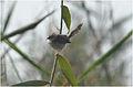 Prinia gracilis at Fayoum by Hatem Moushir 2.JPG