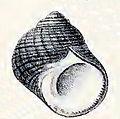 Prisogaster niger 003.jpg