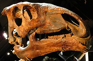 Eolambia - Skull of Probactrosaurus, the closest relative of Eolambia according to Head