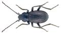 Probaticus superbus (Mulsant & Godart 1855) (25205311971).png