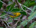 Prothonotary Warbler (16767544569).jpg