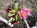 Prunus andersonii (5069116403).jpg