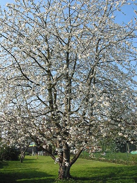 """Cerisier (Prunus avium) - Havré (Belgique) - Lieu-dit """"Hameau du Pire""""    Circonférence mesurée à  0m50 du sol: - cm - (2013)."""