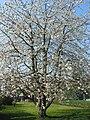 Prunus avium - Havré (1).JPG