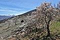 Prunus dulcis kz19.jpg