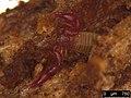 Pselaphochernes scorpioides (36199868480).jpg