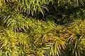 Pseudolarix amabilis, Timaru Botanic Garden, New Zealand 04.jpg