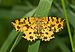 Pseudopanthera macularia kermeter01.jpg