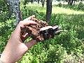Psilocybe Cubensis Imire (Psilocybe Cubensis Zimbabwe) 3.jpg