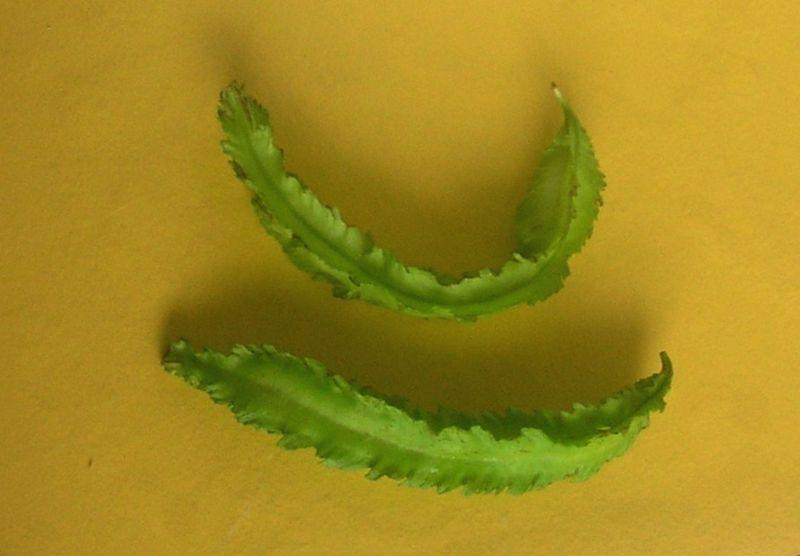 File:Psophocarpus tetragonolobus836.jpg