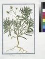 Psyllium majus erectum - Psillio - Herbe aux puces. (Flea seed, Ispaghula, Spogel) (NYPL b14444147-1125040).tiff