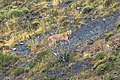 Puma (Puma Concolor) encounter near Lago Pehoe, just across the lake from Salto Grande waterfall - the adult heads stealthily up the hill - (24818895409).jpg