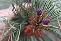 Purple Pine Code Buds (18486483376).jpg