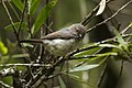 Pygmy Tit - Cibodas Bot.Gardens MG 3731 (29030183943).jpg