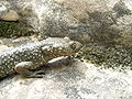 Pyrenean Brook Salamander (Euproctus asper).jpg
