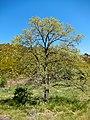 Pyrenean oak (Quercus pyrenaica) Parque Natural de Montesinho Porto Furado trail (5732630305).jpg