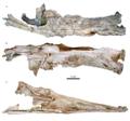 Qarmoutus neurocranium Sayed et al 2017.png
