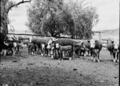 Queensland State Archives 1864 Beef cattle pastures and stock yards December 1955.png
