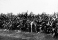 Queensland State Archives 4342 Arrowroot crop Coolabunia Kingaroy Line c 1930.png