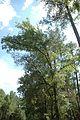 Quercus oglethorpensis (24168134305).jpg