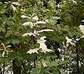 Quercus robur - mildew 02 ies.jpg