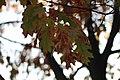 Quercus rubra (1).jpg