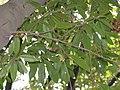 Quercus sessilifolia3.jpg