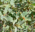 Quercus turbinella 1.jpg
