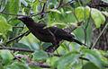 Quiscalus quiscula, juvenile, Centreville, Virginia (14549933468).jpg