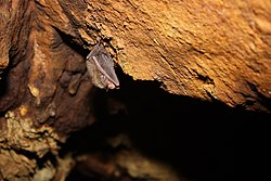 Rafinesques big-eared bat (5494435840).jpg