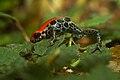 Ranitomeya reticulata.jpg