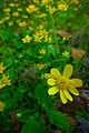 Ranunculus bullatus609.jpg