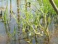 Ranunculus pusillus.jpg