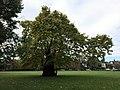 Ravenscourt Park 'baobab' Plane.jpg