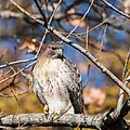 Red-tailed Hawk -93 100- (27062883749).jpg