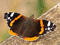 Red Admiral in Exminster Marshes.jpg