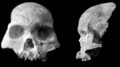 Red Deer Cave people skull anterior and lateral.png