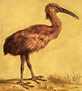 Red rail extinct species of flightless rail which was endemic to Mauritius