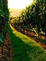 Red Vine - panoramio.jpg