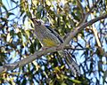 Red Wattlebird (Anthochaera carunculata) - Flickr - Lip Kee (1).jpg