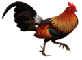 Red jungle fowl white background.png