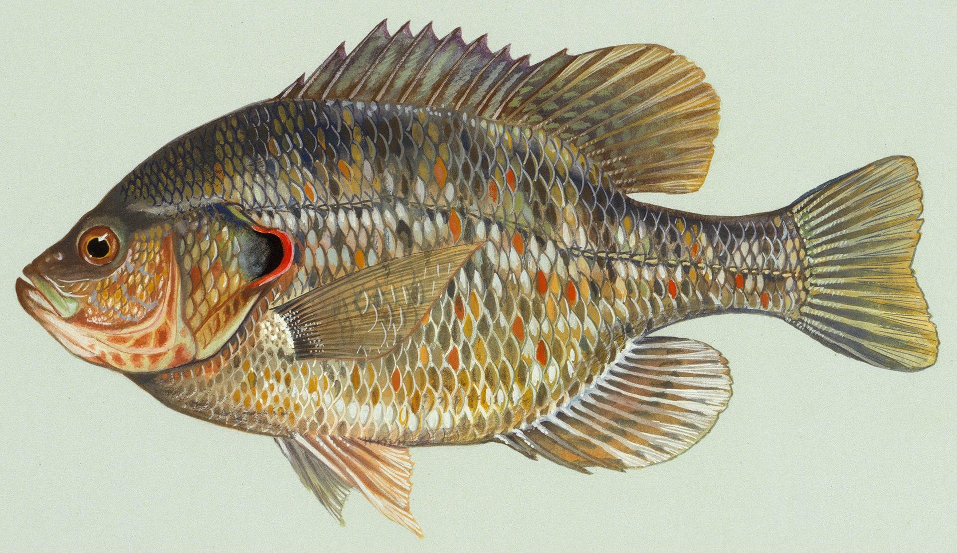 Redear sunfish wikipedia for Blue gill fishing
