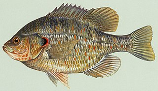 Redear sunfish Species of fish