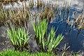 Reed bed 2.jpg