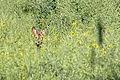 Reh (Capreolus capreolus) im Naturschutzgebiet Trunnenmoor IMG 2636.jpg