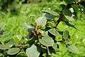 Rhamnus alaternus kz01.jpg