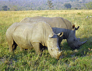 A photo taken of Rhinoceros eating in a nation...