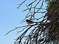 Rhipidura leucophrys (12210633965).jpg