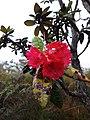 Rhododendron arboreum subsp. Zeylanicum.jpg