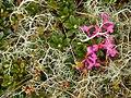 Rhododendron myrtifolium.jpg